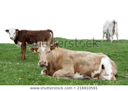 grama · margaridas · Irlanda · luxuriante · verde · campo - foto stock © morrbyte