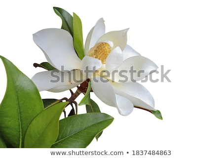 Magnolia Blooming Stock photo © Rybakov