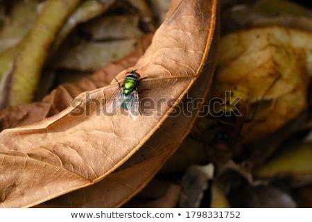 Groene vliegen bruine ogen permanente blad Stockfoto © rhamm