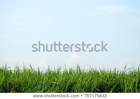 su · çiçek · çim · tohumları - stok fotoğraf © taden