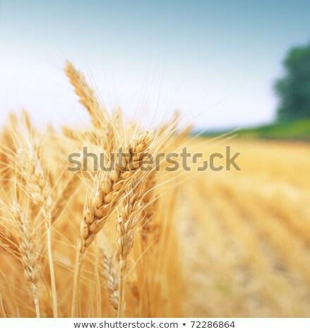 Pronto colheita dourado grão campo comida Foto stock © ChilliProductions