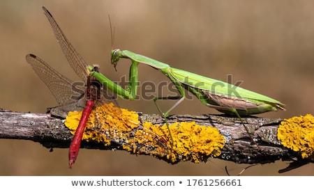zöld · sáska · fehér · illusztráció · természet · háttér - stock fotó © perysty