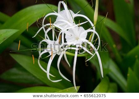Beautiful spider lily, Hymenocallis littoralis Stock photo © juniart