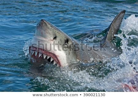Foto squalo Ocean blu tropicali animale Foto d'archivio © Nejron