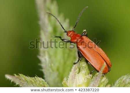 Kever heldere Rood zomer Engeland wildlife Stockfoto © suerob
