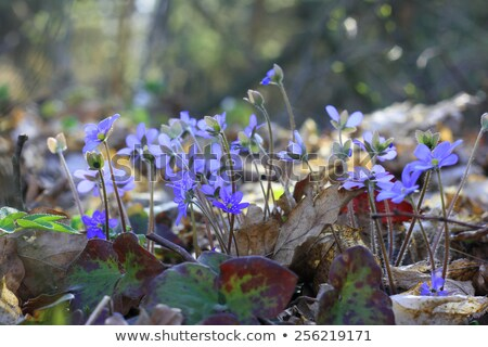 Hepatica back lit group Stock photo © olandsfokus