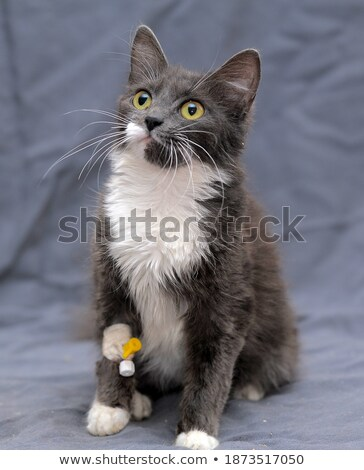 Cute gris chaton dormir bandage patte Photo stock © wavebreak_media