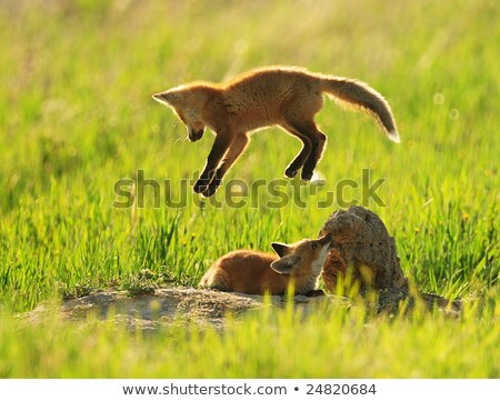 Fox Kits at Play Stock photo © jeffmcgraw