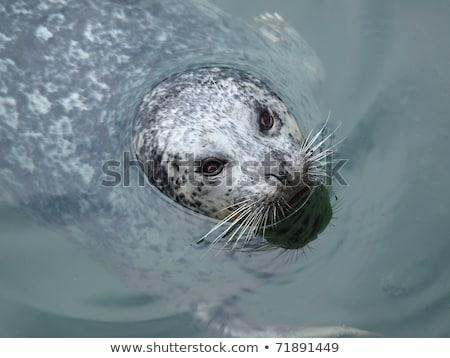 Port pieczęć głowie na zewnątrz wody oka Zdjęcia stock © Mariusz_Prusaczyk