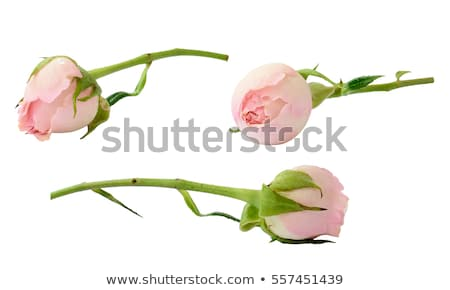 バラ · つぼみ · マクロ · ショット · ピンクのバラ - ストックフォト © mroz