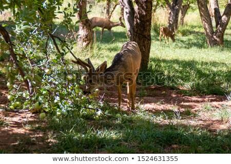 Ciervos comer manzana Foto stock © ndjohnston