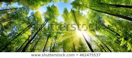 alto · árvores · floresta · blue · sky · céu · árvore - foto stock © gregorydean