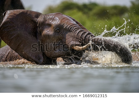 african elephant in the water stock photo © simoneeman