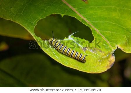 Kleurrijk rups eten blad illustratie natuur Stockfoto © bluering