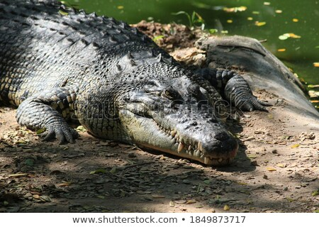 crocodile lying near lake stock photo © mikko