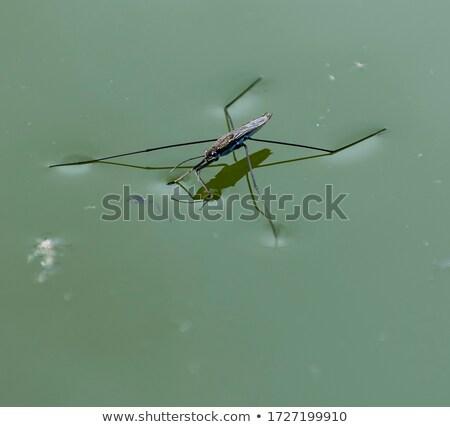 água patinador folha ilustração natureza fundo Foto stock © bluering
