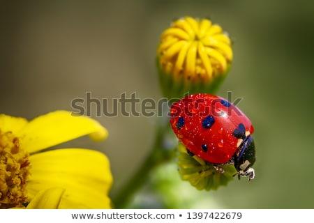 Katicabogár sárga virág illusztráció virág természet háttér Stock fotó © bluering