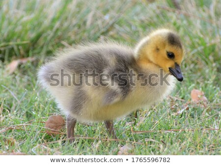 Stock photo: goslings following canada goose parents