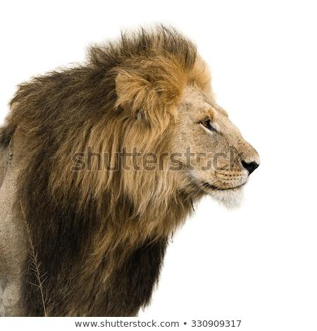 сторона профиль лев центральный природы животного Сток-фото © simoneeman
