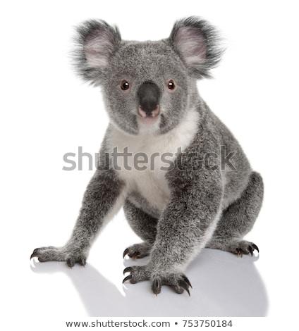 cute koala on white background stock photo © bluering
