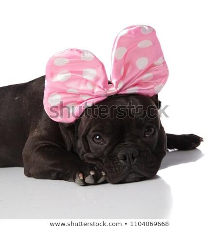 close up of french bulldog wearing a pink ribbon headband Stock photo © feedough