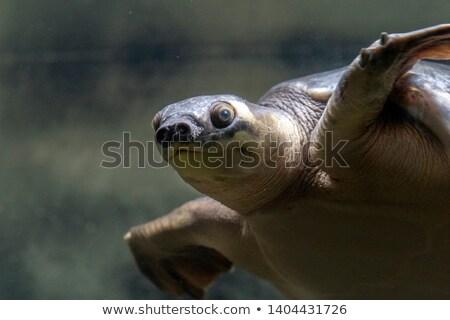 Teknős új Guinea úszik víz természet Stock fotó © bdspn