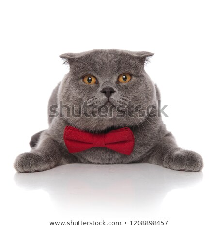 lovely grey furry cat with red bowtie lying on belly Stock photo © feedough