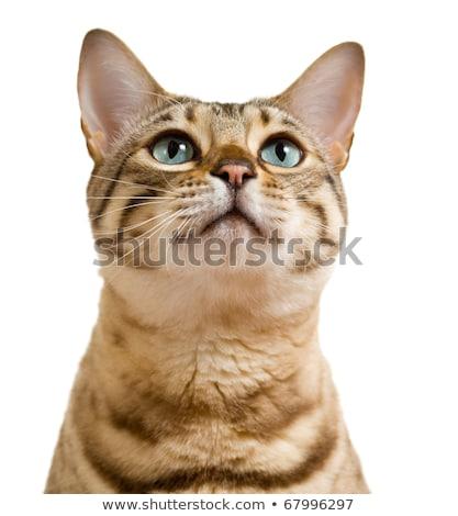 Bengal cat looking up Stock photo © karandaev