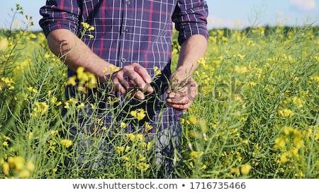 Agriculture, farmer examining rapeseed plants in field Stock photo © simazoran