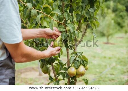 peras · velho · árvore · projeto - foto stock © mythja