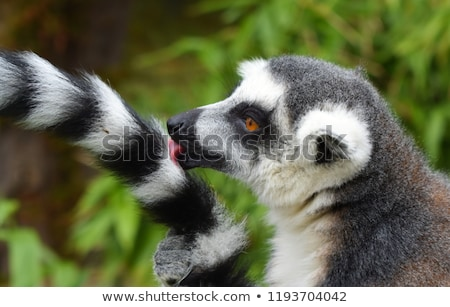 Stock photo: Lemur catta sits on a fence at the zoo