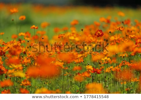 orange cosmos flower stock photo © szefei