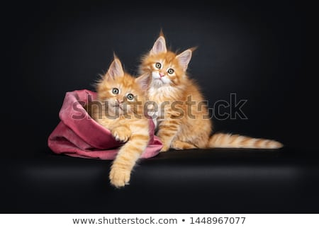 Amazing classic black tabby Maine Coon on black stock photo © CatchyImages