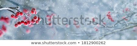 Fagyott bogyók fedett friss tél hó Stock fotó © lovleah