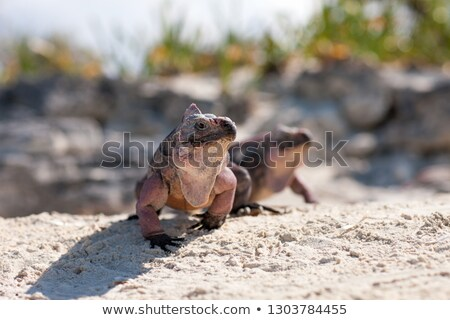 two exuma island iguanas in the bahamas Stock photo © dolgachov