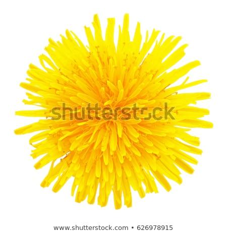 egy · sárga · virág · pitypang · izolált · fehér · közelkép - stock fotó © boroda