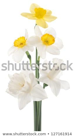 white narcissus isolated on white background Stock photo © artjazz