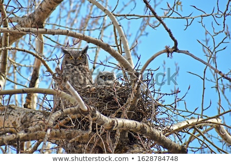 Young Great Horned Owl  Stock photo © devon