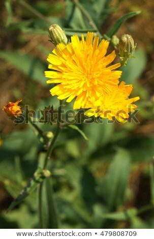 Stok fotoğraf: çiçek · tohum · kafa · ot · ot