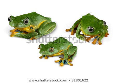 Wallace Flying Frogs (clipping path) Stock photo © macropixel