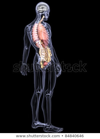 Internal Organs - Prostate	 Stock photo © Spectral