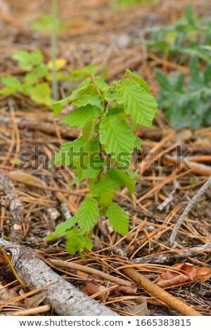 Young beech forest Stock photo © hraska