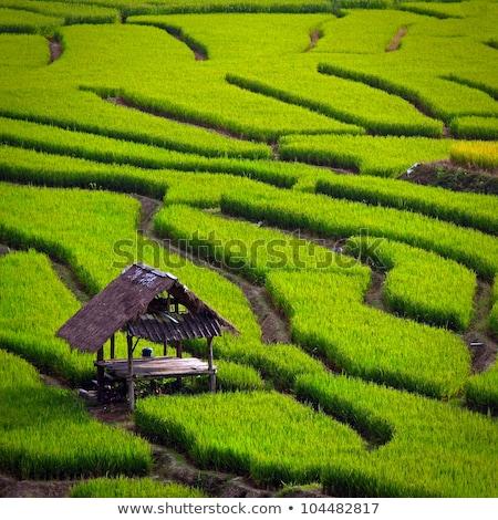 豊かな 緑 コメ フィールド 葉 フィールド ストックフォト © scenery1