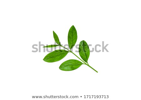 close up of green privet hedge twigs with leafs.  Stock photo © meinzahn