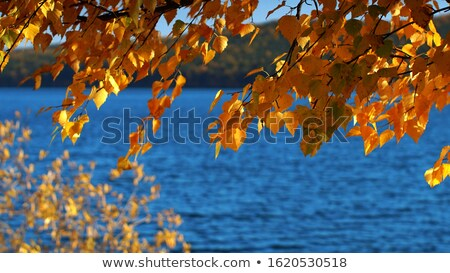 yellow autumn leaves hanging at the birch tree stock photo © meinzahn