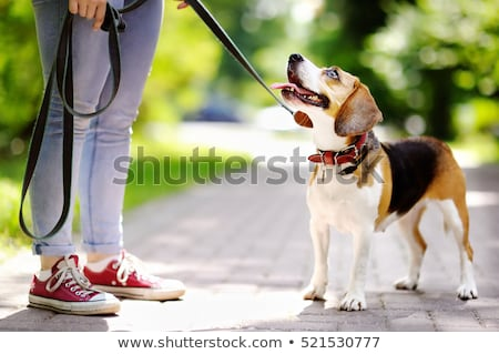Purebred dog in a leash Stock photo © bigandt