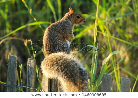 squirrel near a boardwalk stock photo © bmonteny