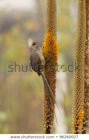 speckled mousebird colius striatus stock photo © dirkr