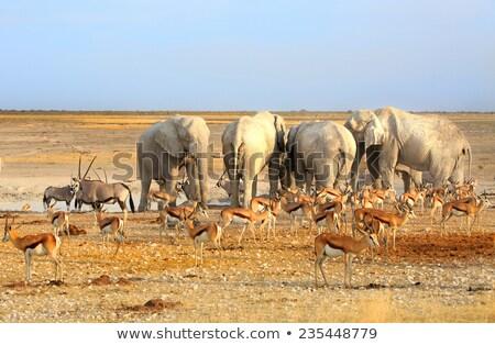 Nyáj árnyék fa sivatag Botswana csoport Stock fotó © romitasromala