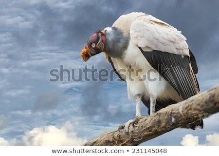 king vulture sarcoramphus papa stock photo © chris2766